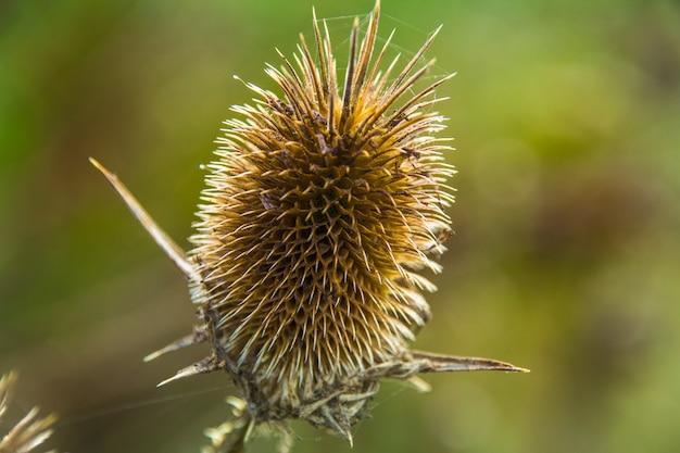 Cardo selvagem espinhoso seco em contraluz entre a grama