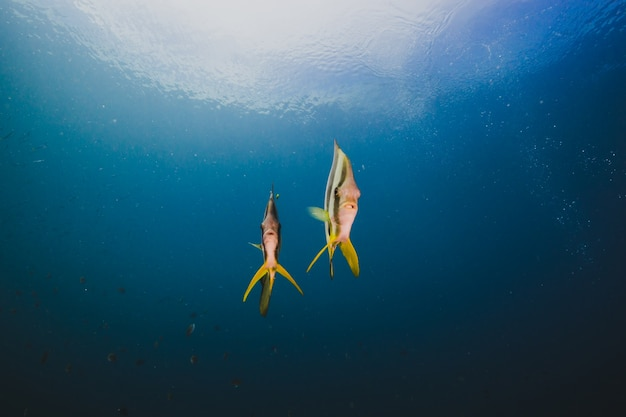 Cardume de borboletas peixe no oceano vazio