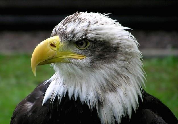 Careca casaco águia pássaro adler raptor braços
