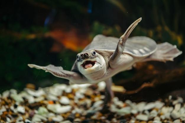 Carettochelys insculpta. a tartaruga alegre nada debaixo d'água. animais engraçados.