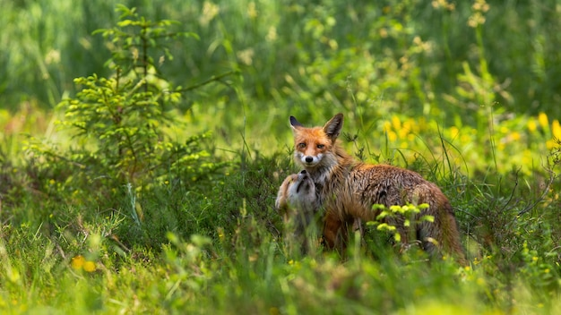 Carinhoso filhote de raposa vermelha aconchegando-se a mãe no prado verde ao nascer do sol