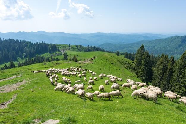 Carneiros brancos em vales verdes das montanhas dos cárpatos