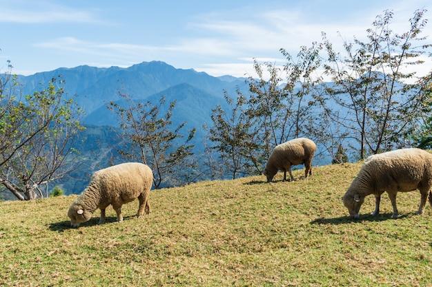 Carneiros que comem a grama no campo no dia ensolarado.