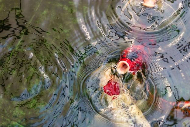 Carpa de fantasia peixes ou peixes koi nadando e esperando por comida na lagoa