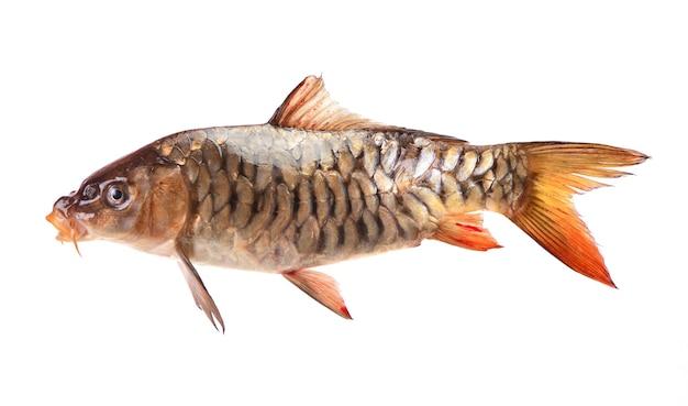 Carpa de peixe