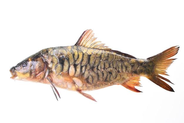 Carpa-espelho de peixe