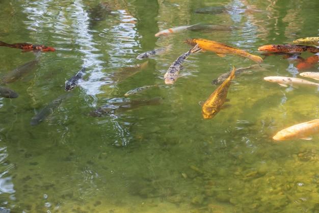 Carpa exibindo suas belas cores ao nascer do sol em um lago. luz natural, foco seletivo.