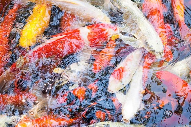 Carpa extravagante colorida, natação dos peixes de koi ao redor na lagoa. peixe da sorte.