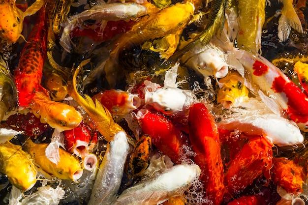 Carpa koi com fome peixe natação japonesa (cyprinus carpio) fundo cor bonita