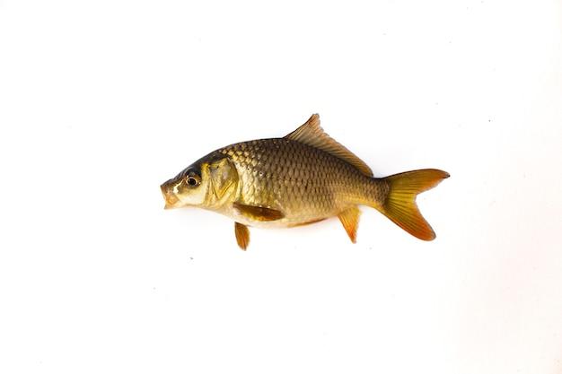 Carpa peixe em fundo branco