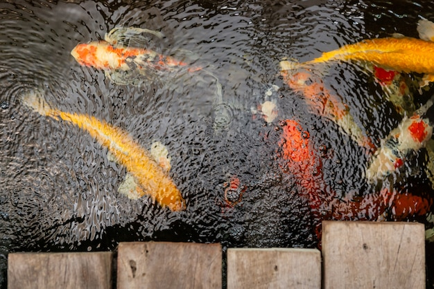 Carpa peixe nadar