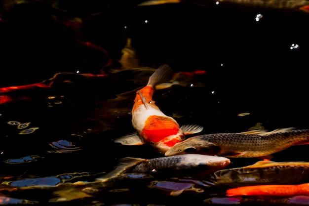 Carpas em uma lagoa escura (peixe koi japonês)