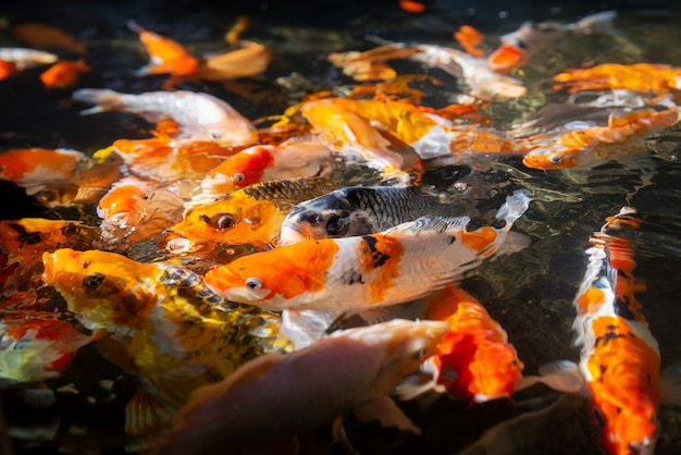 Carpas koi perfeitas, lindos peixes koi coloridos nadando no lago