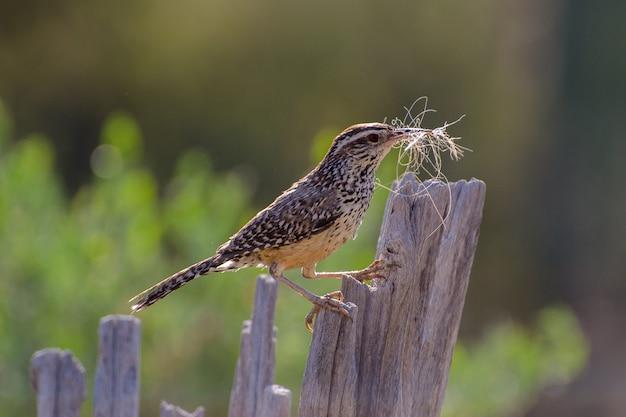 Carriça de cacto, reunindo material de nidificação e empoleirado em uma costela de saguaro