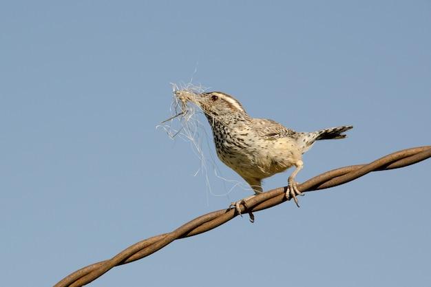Carriça de cacto reunindo material de nidificação e empoleirado no fio trançado
