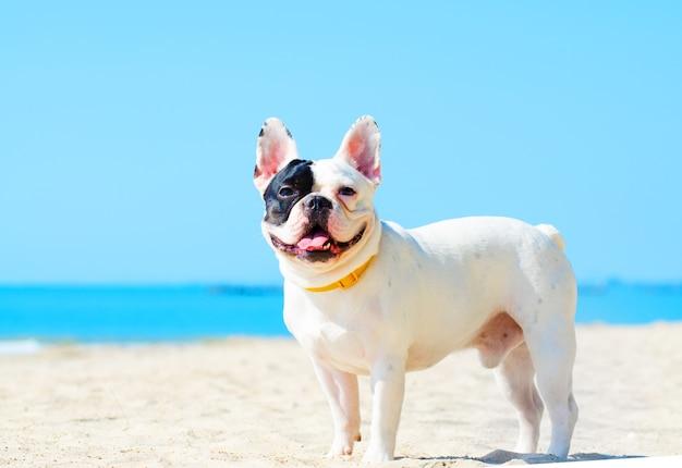 Carrinho de buldogue francês na praia de areia