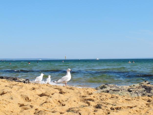 Carrinho de gaivota branca na praia de sandringham