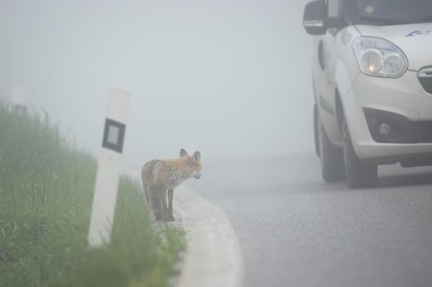 Carro passando por uma raposa parada na berma de uma estrada.