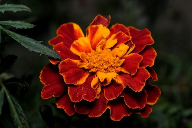 Cartão postal de arte macro fotografia flor de outono nas cores ouro e bordô em um fundo escuro