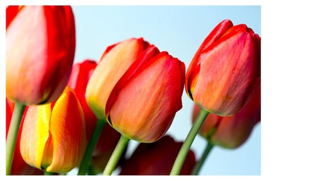 Cartão - tulipas vermelhas em um fundo branco