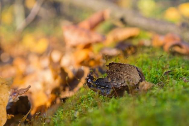 Carvalho de carvalho mordido por esquilo no verde musgo de uma velha árvore caída na floresta