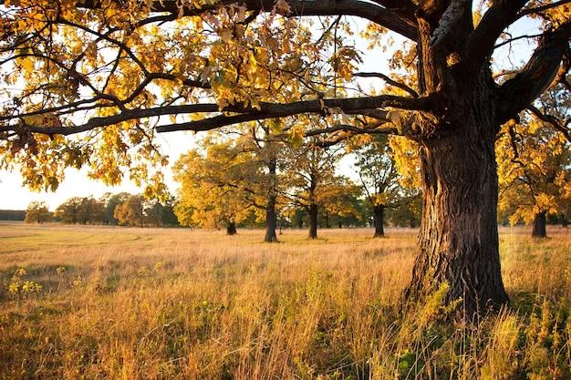 Carvalho grande em um bosque de carvalhos no outono