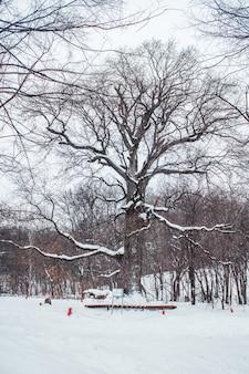 Carvalho velho na idade de 585 anos em pé na floresta no inverno