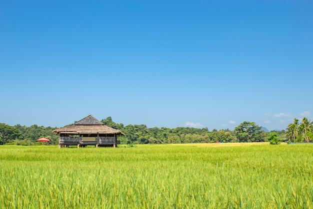 Casa de campo em campos de arroz verde e é logo até a colheita de sementes.