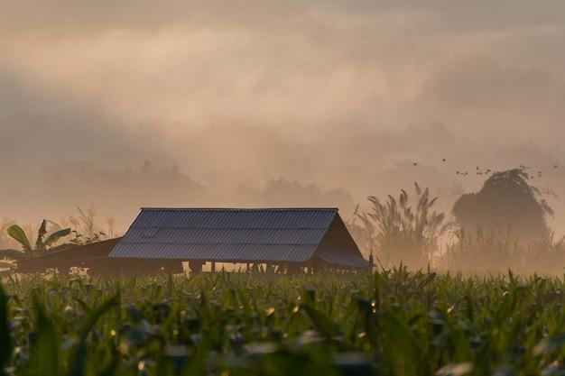 Casa de campo entre campos de milho durante manhã de nevoeiro