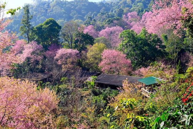 Casa de sakura cereja selvagem do himalaia em khun chang kian chiangmai tailândia
