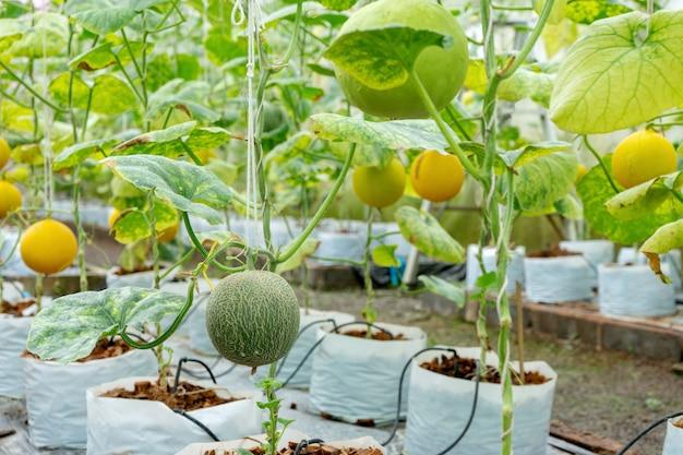 Casa de vidro de melão berçário tailândia