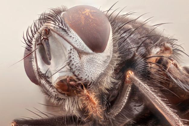 Casa mosca cabeça closeup. macrofotografia