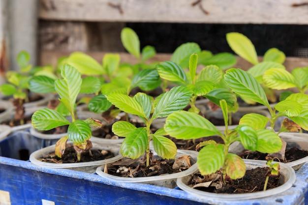 Casa viveiro planta verde, jovens plantas crescendo em fileira de pote