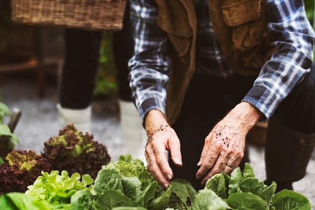 Casal adulto sênior colhendo vegetais do jardim do quintal