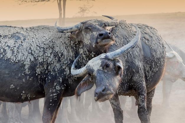 Casal búfalos são relaxar no campo