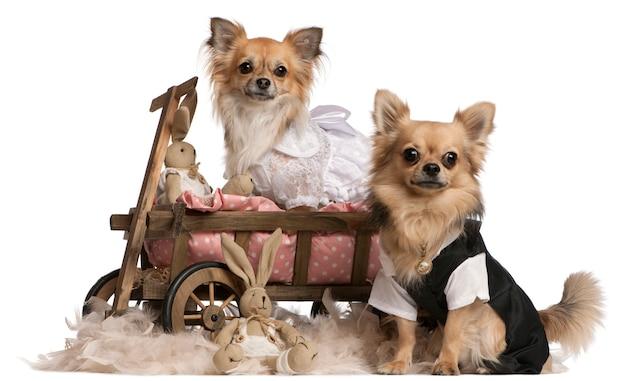 Casal chihuahua, 2 anos de idade, vestido e sentado na carroça de cama de cachorro com bichos de pelúcia