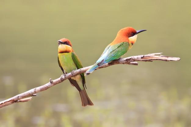 Casal de abelharuco-de-cabeça-castanha, pássaro da tailândia