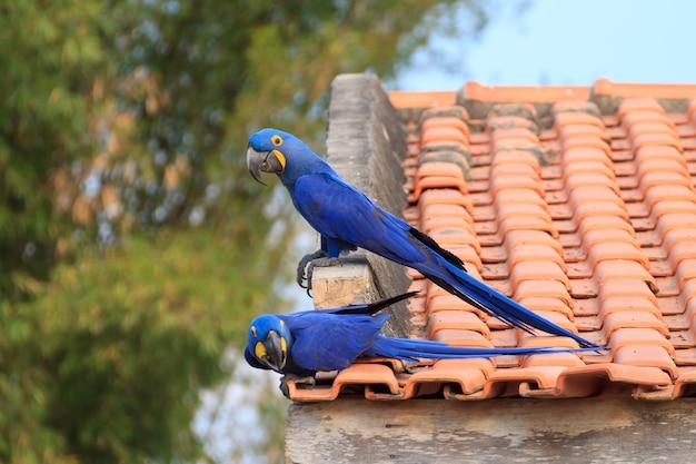 Casal de arara-azul do pantanal