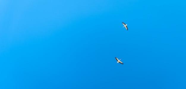Casal de cegonha voando no céu azul. banner com espaço de cópia