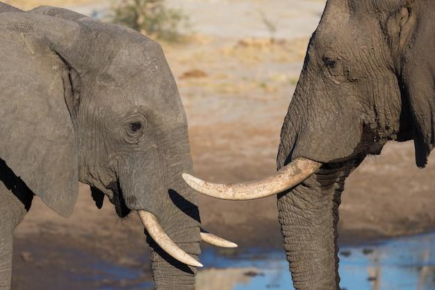 Casal de elefantes africanos, jovens e adultos, no poço.