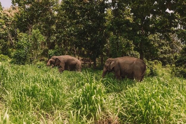 Casal de elefantes no meio da selva, rodeado por grama verde