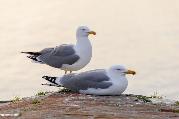 Casal de gaivotas no telhado