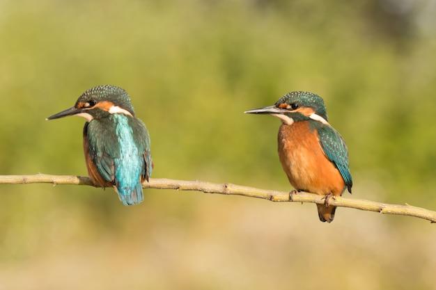 Casal de kingfisher empoleirado em um galho