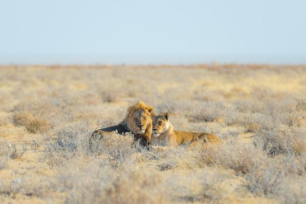 Casal de leões deitado no chão no mato.