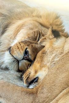 Casal de leões (masculino e feminino) dormindo juntos no parque nacional, reserva natural ou zoológico de perto