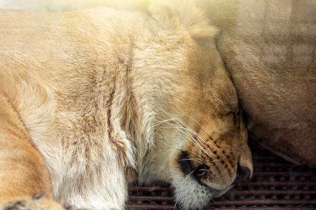 Casal de leões (masculino e feminino) dormindo juntos no parque nacional, reserva natural ou zoológico.