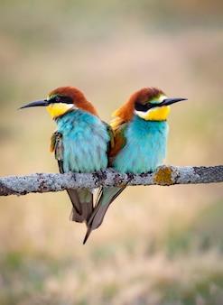 Casal de pássaros comedores de abelha coloridos sentado em um galho na primavera