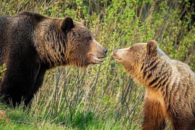 Casal de urso pardo masculino e feminino, olhando um ao outro na natureza da primavera