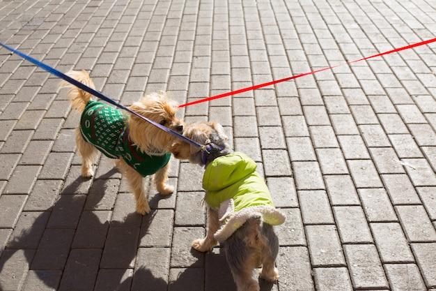 Casal de yorkshire terrier cachorro cheirando um ao outro