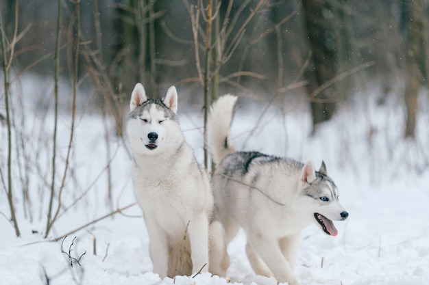 Casal husky siberiano no inverno